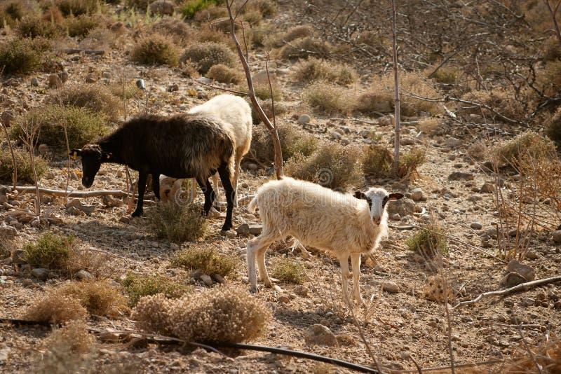 Schafe, die auf einer Weide gebrannt durch die Sonne weiden lassen lizenzfreie stockfotografie
