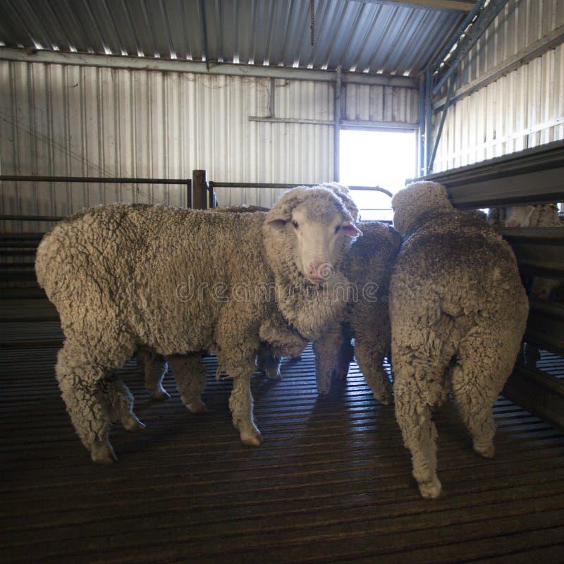 Schafe, die das Scheren erwarten stockfotos