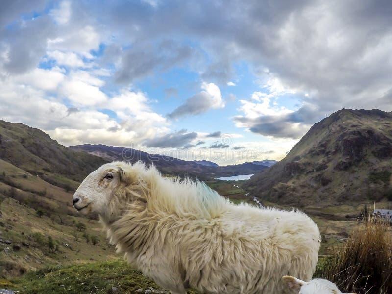 Schafe, die einen Blick an der Kamera bei Llyn Gwynant in Nationalpark Gwynedd Nord-Wales Snowdonia haben lizenzfreies stockbild