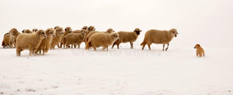 Schafe, die einen Hund führen stockbild