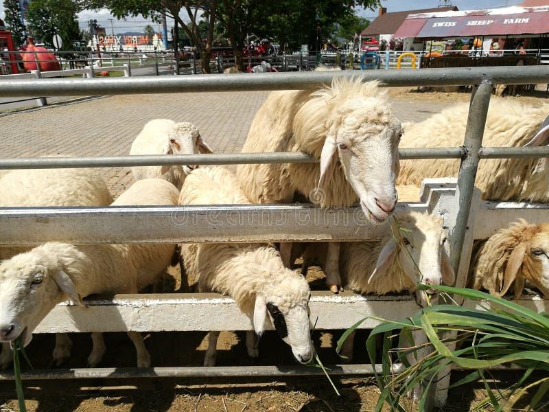 Schafe, die Gras essen stockbilder