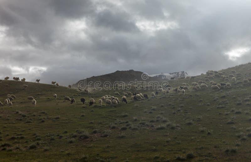 Schafe, die nahe chandrataal See in Spiti-Tal weiden lassen lizenzfreie stockbilder