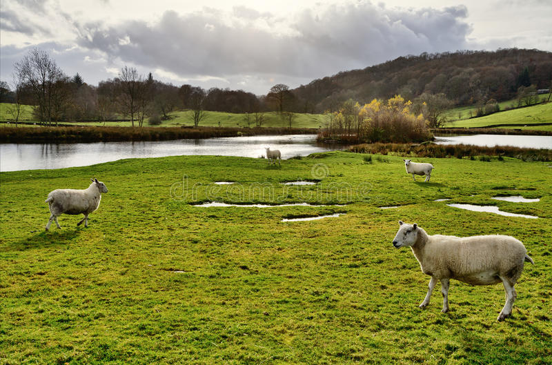 Schafe durch einen See im Winster Tal, Cumbria. stockbild