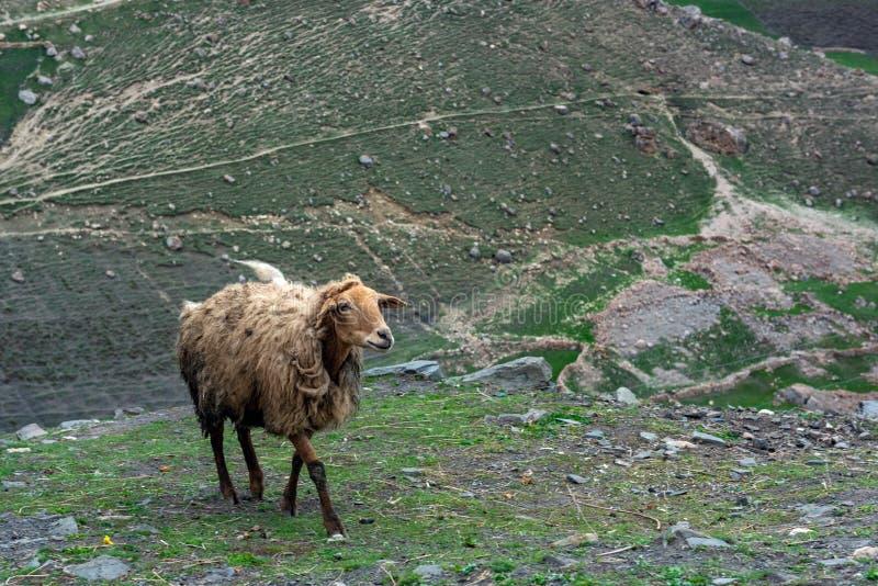 Schafe in einem Bergdorf lizenzfreie stockfotografie