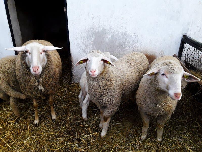 Schafe in einem Kasten stockfotos