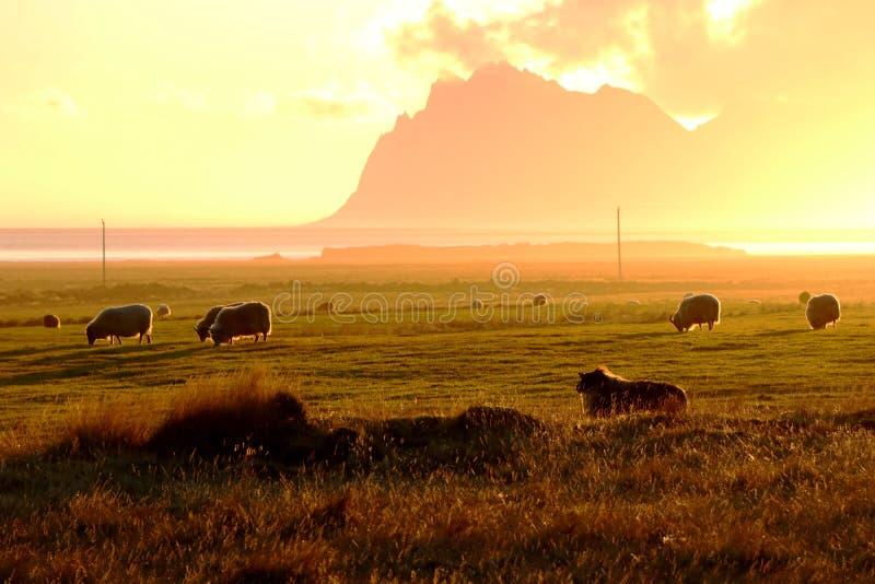 Schafe in einer Ebene am Fuß der Berge von Island stockfotografie