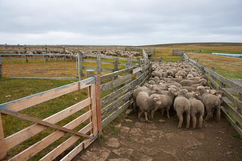 Schafe in einer Hürde lizenzfreies stockbild