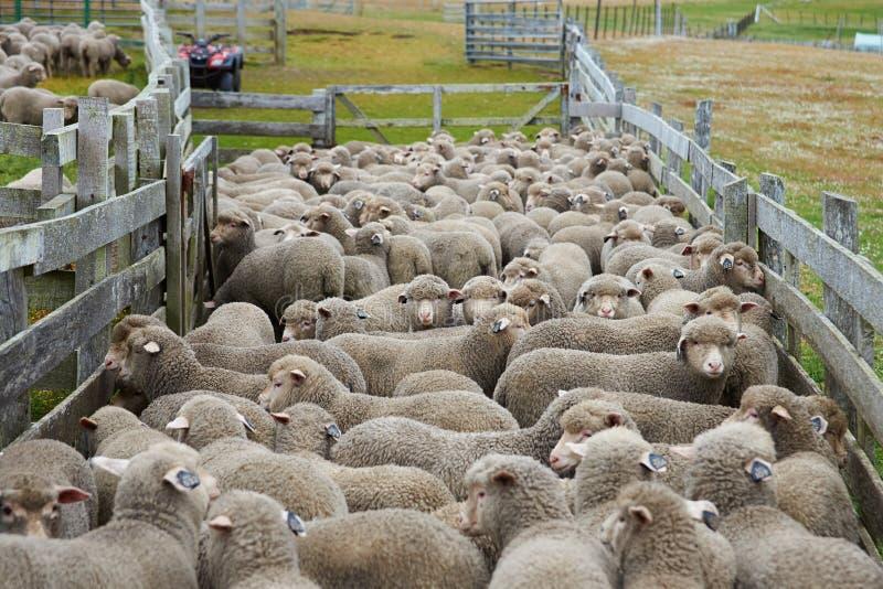 Schafe in einer Hürde stockfotos