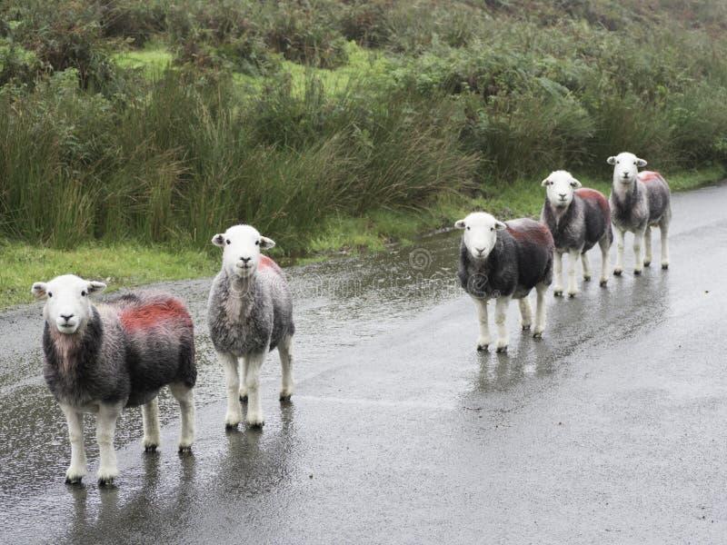 5 Schafe in einer Linie stockfoto