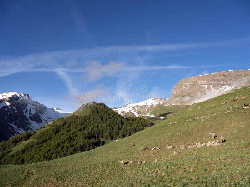 Schafe in Haute Provence parken mercantour nahe Col. de Vars in der sonnigen Wiese mit Schnee mit einer Kappe bedeckten Bergen lizenzfreie stockfotografie