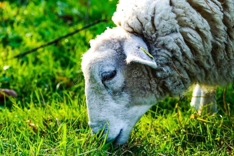 Schafe im Arboretum lizenzfreie stockbilder