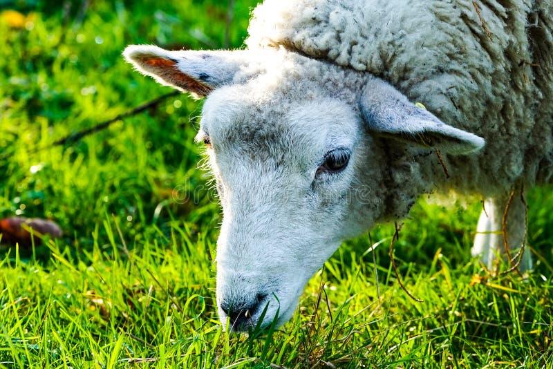 Schafe im Arboretum lizenzfreie stockfotos