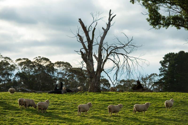 Schafe im Bauernhof lizenzfreie stockfotografie