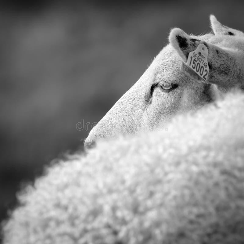 Schafe im Quadrat stockfotografie