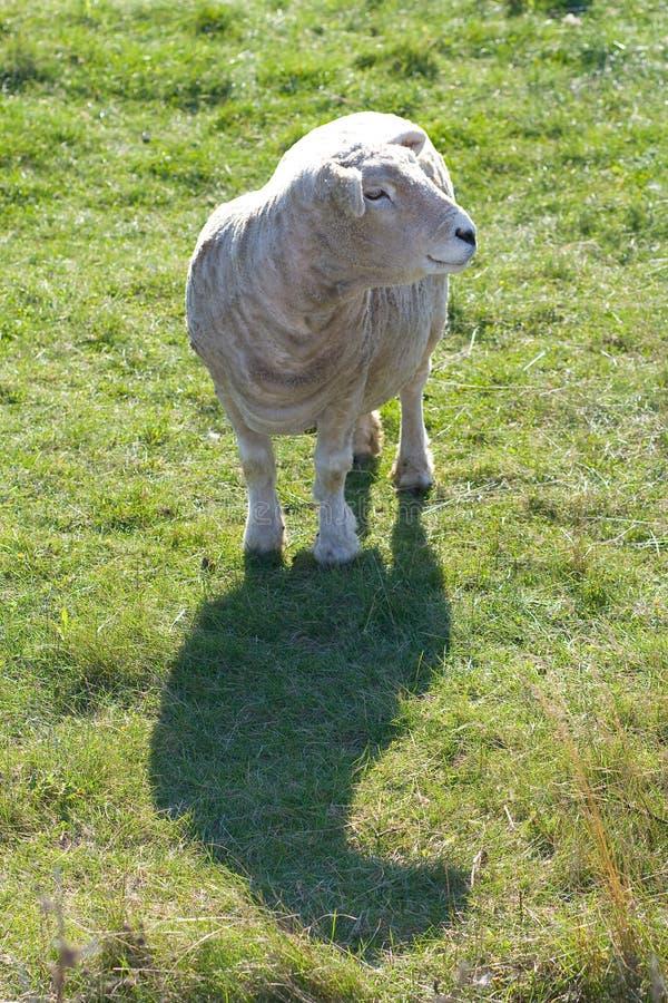 Schafe im Tageslicht. stockbilder