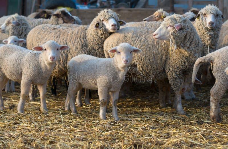 Schafe innerhalb eines Pöbels drehen sich, um den Fotografen heraus zu überprüfen lizenzfreie stockfotografie