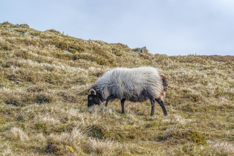 Schafe in Irland stockfoto