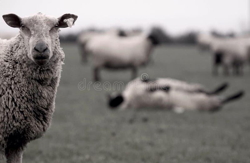 Schafe Irland lizenzfreie stockfotos