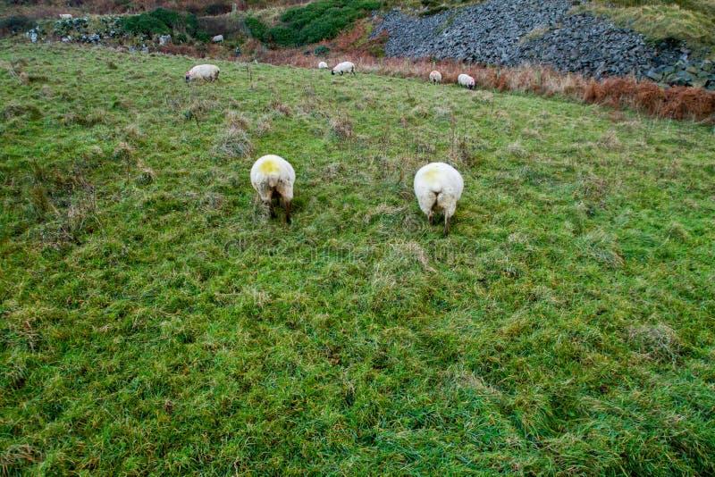 Schafe in Irland lizenzfreies stockfoto