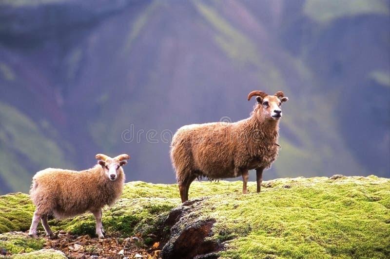 Schafe in Island stockbilder