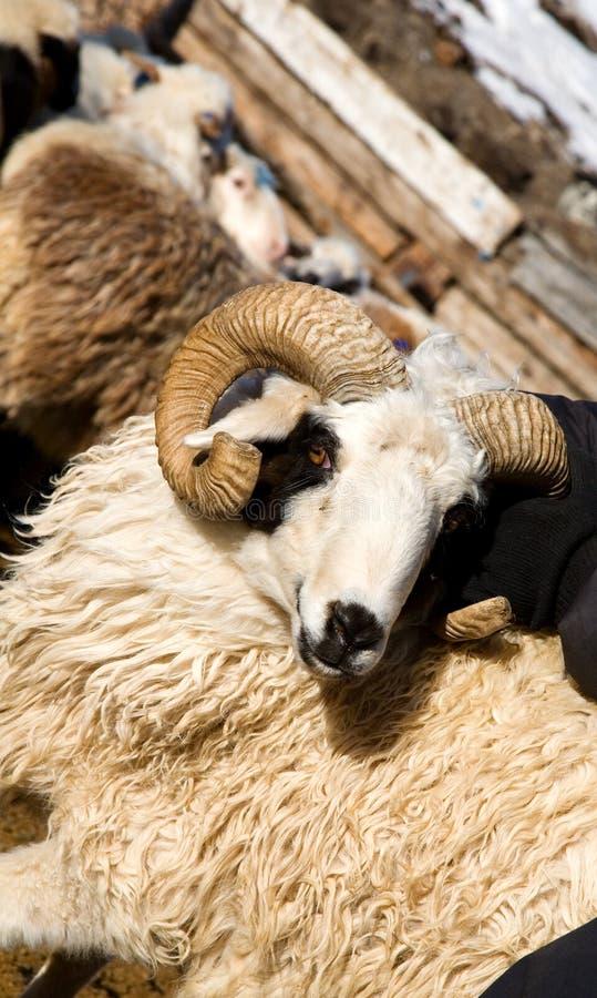 Schafe mit Hupen stockbild