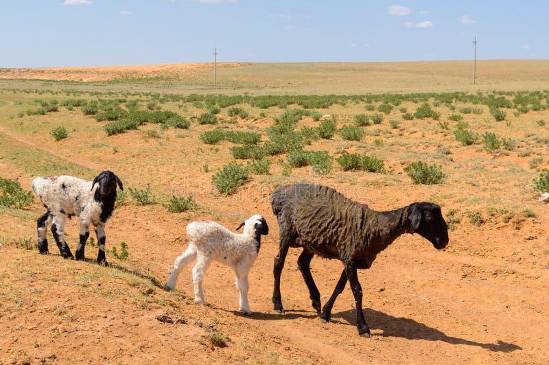 Schafe mit L?mmern in den Steppen vom Halbw?sten- stockfotos