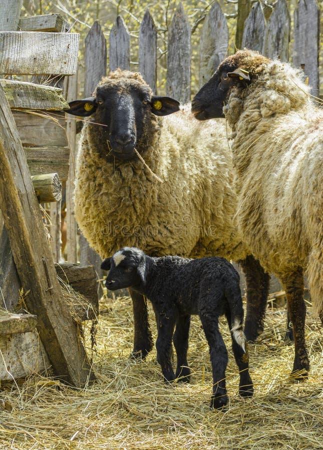 Schafe mit Lamm lizenzfreies stockbild