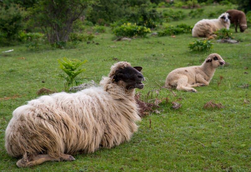Schafe mit langem Vlies und Lämmern stockbilder