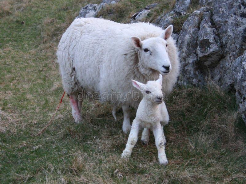 Schafe mit neugeborenem Lamm lizenzfreie stockfotografie