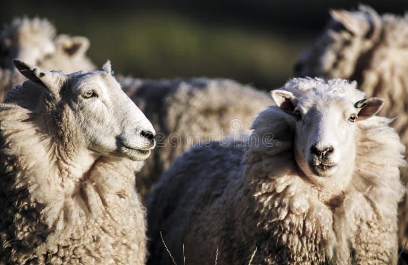 Schafe mit vollem Vlies der Wolle bereit zum Sommerscheren lizenzfreies stockfoto