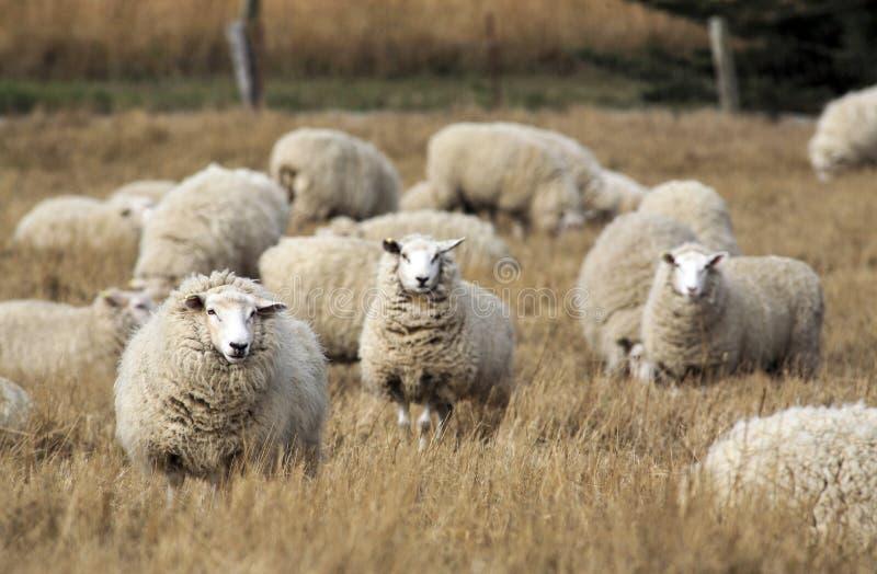 Schafe mit vollem Vlies der Wolle bereit zum Sommerscheren stockfoto