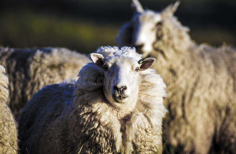 Schafe mit vollem Vlies der Wolle bereit zum Sommerscheren stockbild