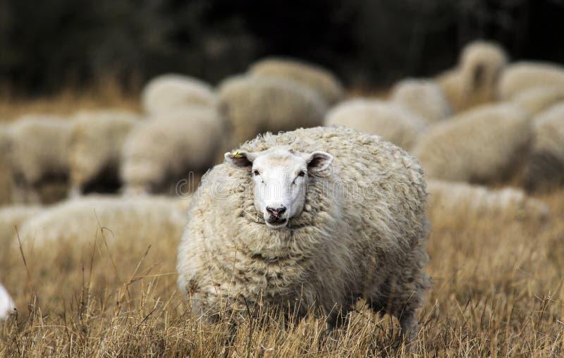 Schafe mit vollem Vlies der Wolle bereit zum Sommerscheren lizenzfreie stockfotografie