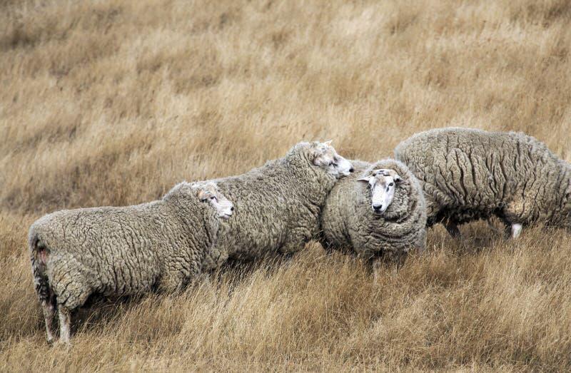 Schafe mit vollem Vlies der Wolle bereit zum Sommerscheren lizenzfreie stockbilder