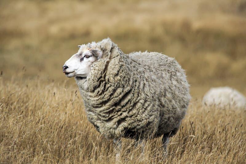 Schafe mit vollem Vlies der Wolle kurz vor dem Sommerscheren stockfotografie