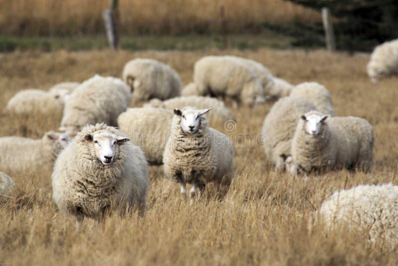 Schafe mit vollem Vlies der Wolle kurz vor dem Sommerscheren lizenzfreie stockbilder