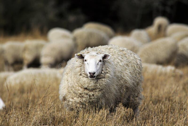 Schafe mit vollem Vlies der Wolle kurz vor dem Sommerscheren lizenzfreie stockfotos
