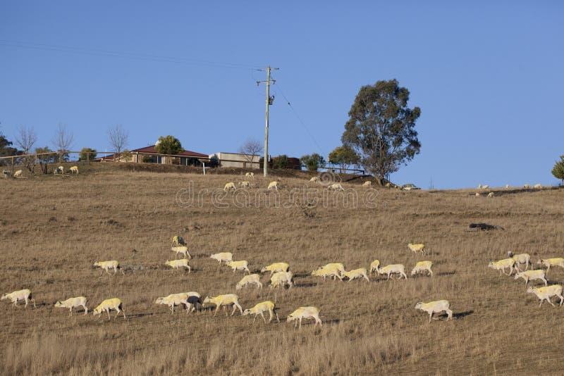 Schafe nachdem dem Scheren lizenzfreies stockbild