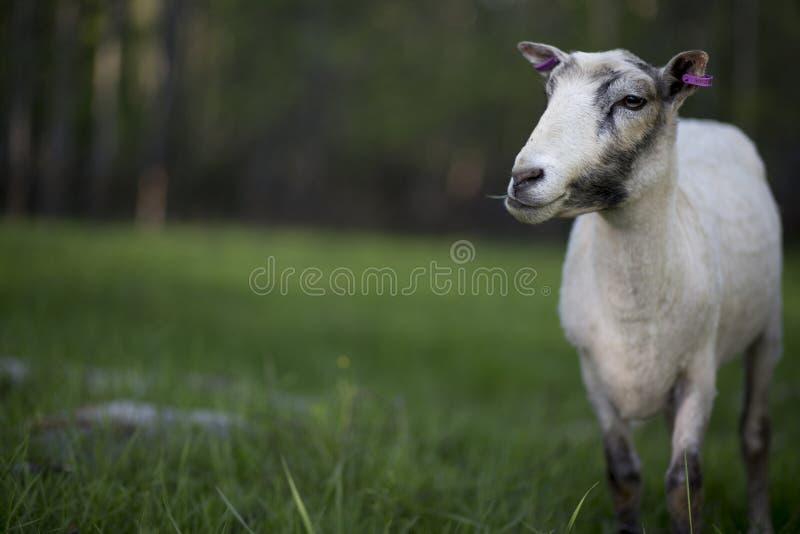 Schafe nachdem dem Scheren lizenzfreie stockbilder