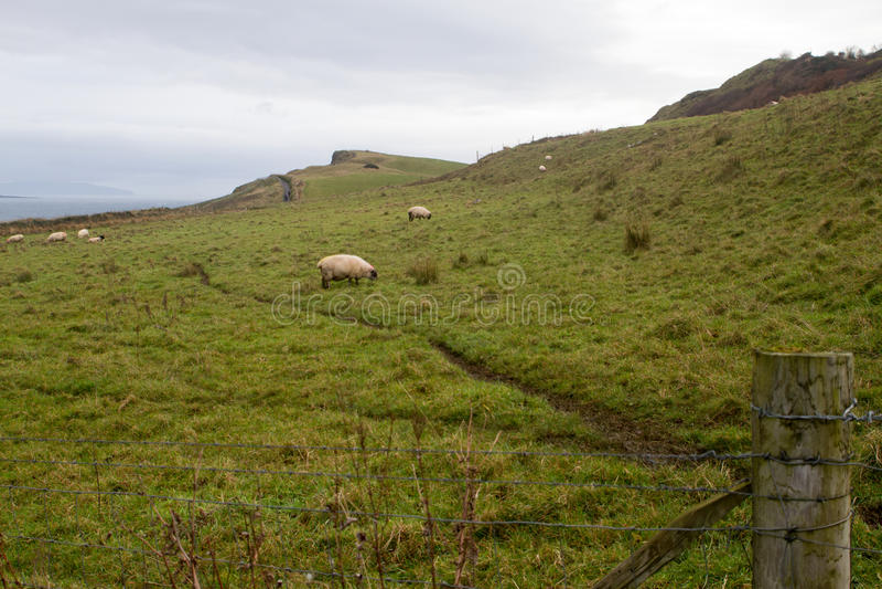 Schafe in Nordirland stockfotografie