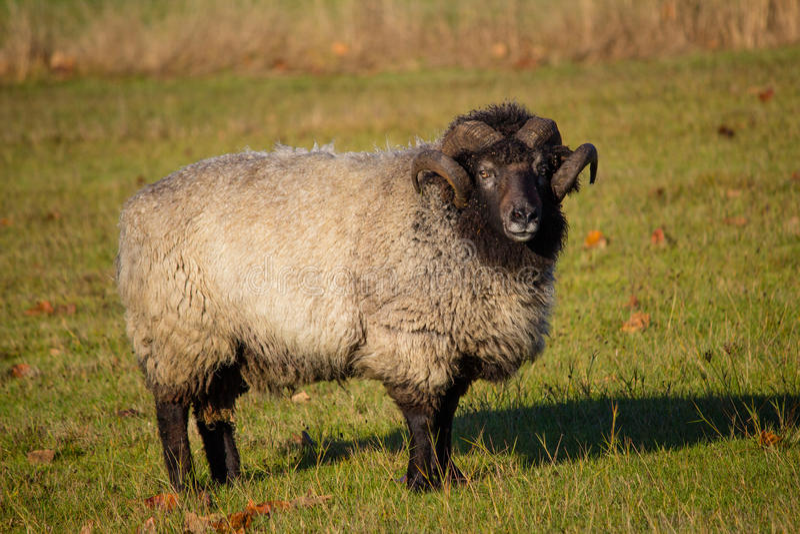 Schafe Ram Standin auf dem Gebiet lizenzfreies stockbild