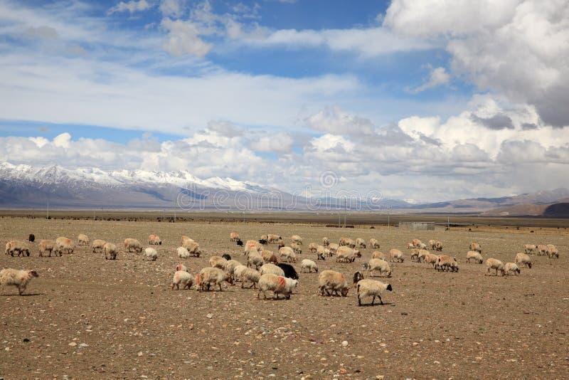 Schafe in Tibet lizenzfreie stockbilder
