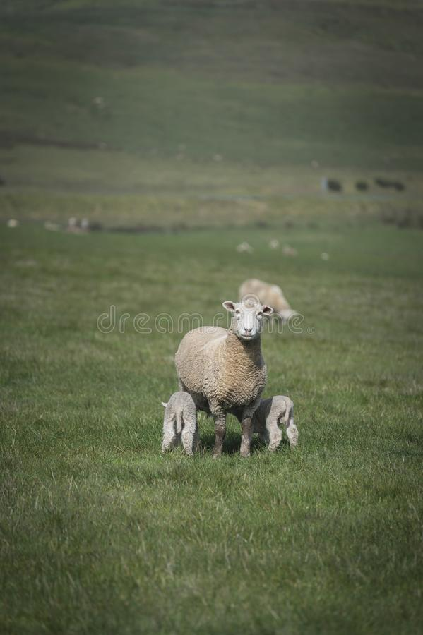 Schafe und Baby im Bauernhof, Australien stockfotografie