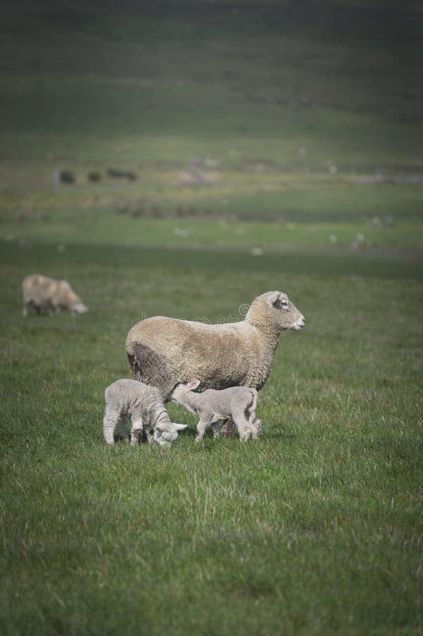 Schafe und Baby im Bauernhof, Australien stockfoto