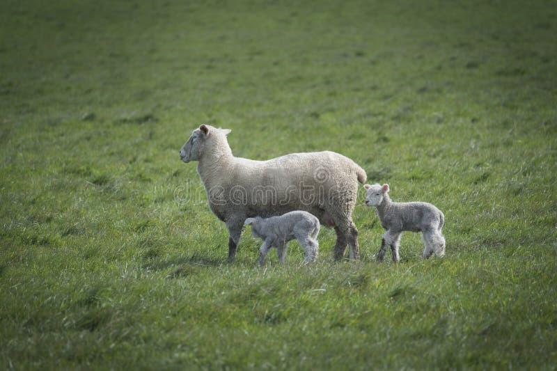 Schafe und Baby im Bauernhof, Australien stockbild