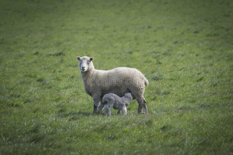 Schafe und Baby im Bauernhof, Australien lizenzfreies stockfoto