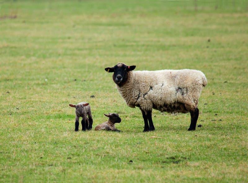 Schafe und Doppellämmer lizenzfreie stockfotografie
