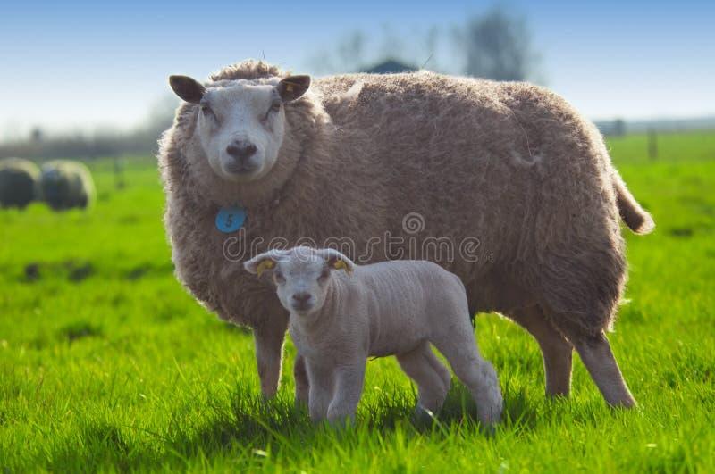 Schafe und ihr nettes kleines Lamm stockfoto