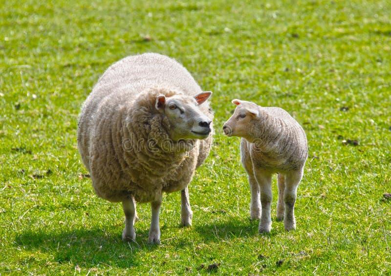 Schafe und Lamm stockfotos
