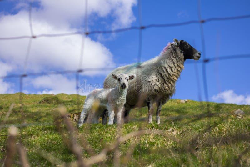 Schafe und Mutterschaf lizenzfreie stockbilder